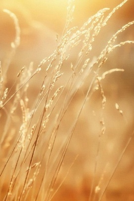 Yellow Grass IPhone 6 Wallpapers