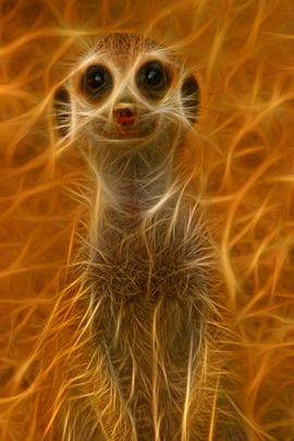 Fractal Meerkat