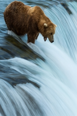 Bear And Waterful