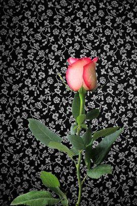 로즈 과 꽃들