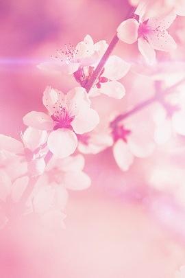 गुलाबी चेरी ब्लॉसम