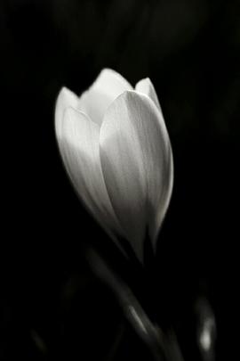 ホワイトチューリップ