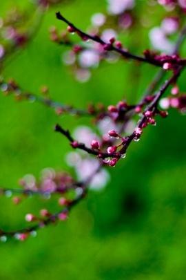 Pink Buds Bokeh