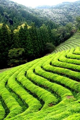Boseong Green Tea Field Korea