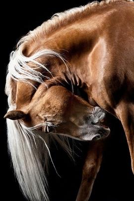 Braun Horse