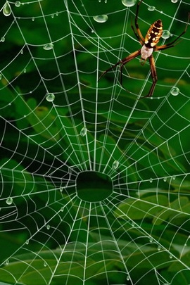 Spider Webs IPhone 6 Wallpapers