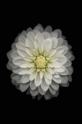 IPhone 6 Official Wallpapers (White Flowers)