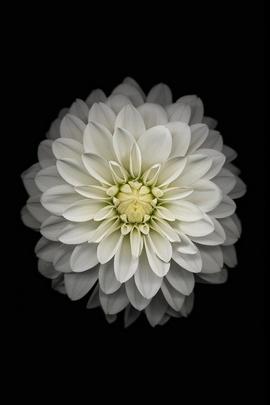 Gambar 6 Wallpaper Rasmi (Bunga Putih)