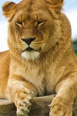 Bayi Singa Berada Di Batu IPhone 6 Batu
