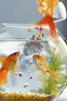 Three Goldfish