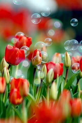 Tulips And Bubbles