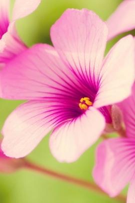 Sunshine Pink Bloom