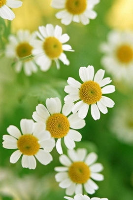 Nature Little Daisy