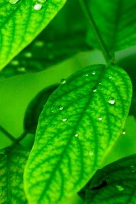 Yeşil çiğ yaprak makro