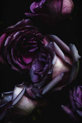 बैंगनी गुलाब