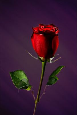 Red Rose On Purple Background