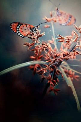 Rosa Schmetterlinge