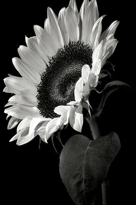 Sunflowers Nature