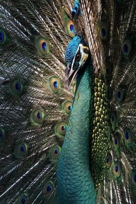 Uccello pavone