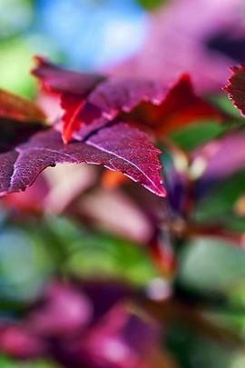 Focusing Purple Leaves