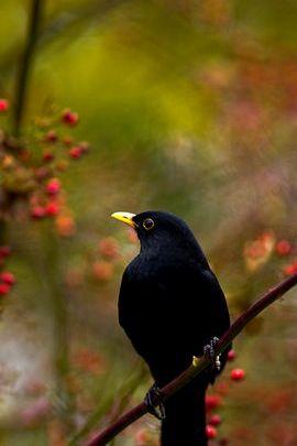 الخريف Blackbird