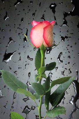 Rose & Dew