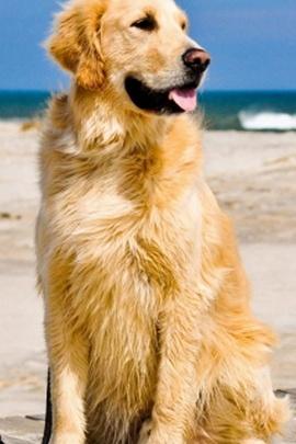 Golden Retriever Dog IPhone 6 Wallpaper