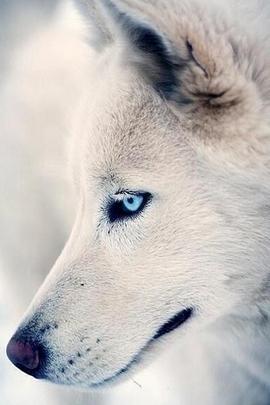 Anjing Dengan Mata Biru