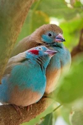 นกคู่รัก