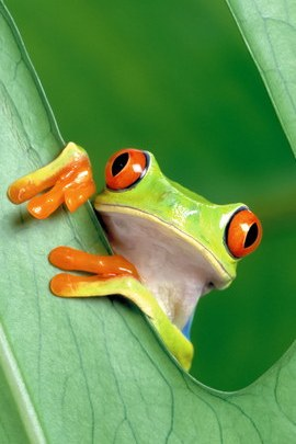 Tree Frog Wallpaper IPhone 5 10