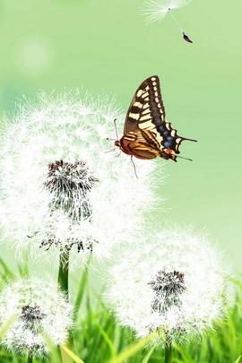 Butterflies Dandelions