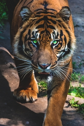 Tiger And Nature
