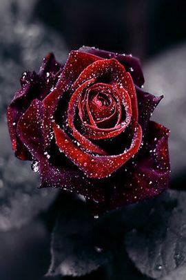 Червона роза
