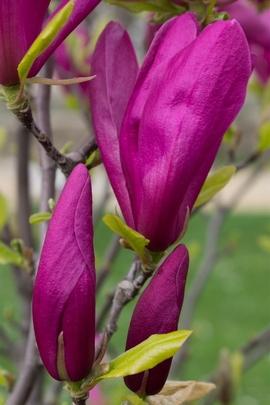 Magno Purple
