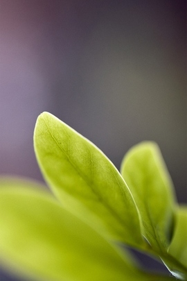 Green Leaves W