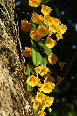 Dendrobium Agregatum.