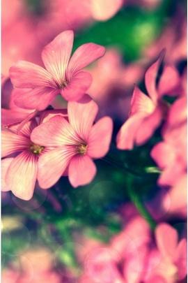 Bellezza rosa