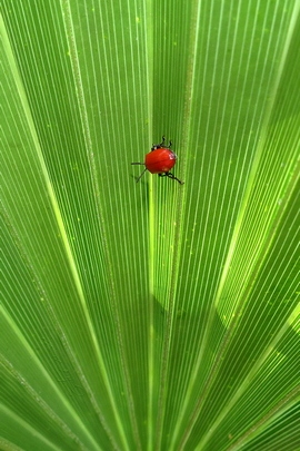 Optical Illusion. Scarlet Lily Beetle.