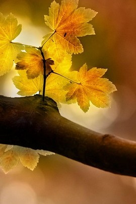 Three Beautiful Yellow Leaves