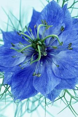 Amazing Blue Flower