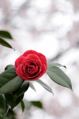 Wonderful Red Rose