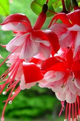 ดอกไม้สีแดงและขาว