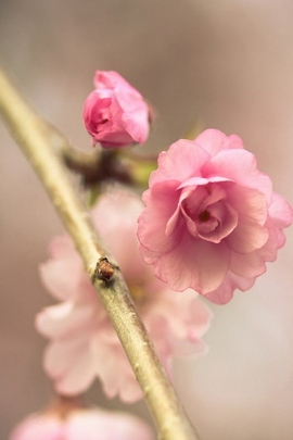 Kirsche Pink