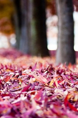 Purple Leaves Fall Down