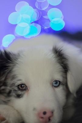Baby Husky