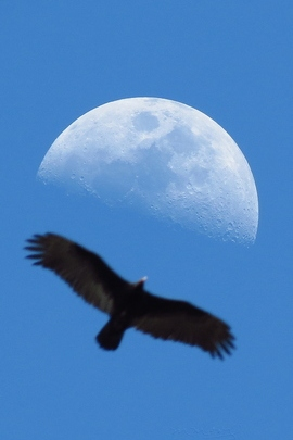 Moon And vulture.