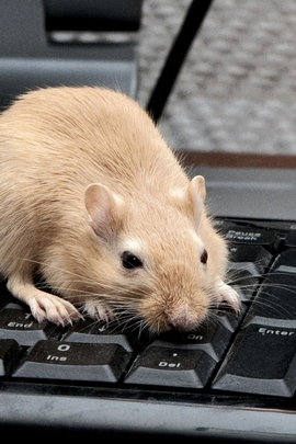 Mouse Rat Keyboard Climb Rodent 56682 720x1280