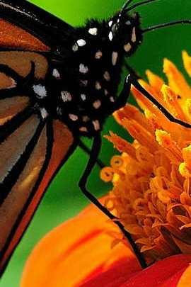 Papillond