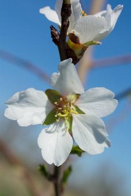 White Blosom