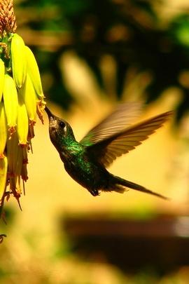 Hummingbird. Colibrí.